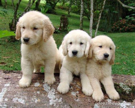adopt a golden retriever puppy for free golden retriever puppies for adoption pets for free adoption dubai city