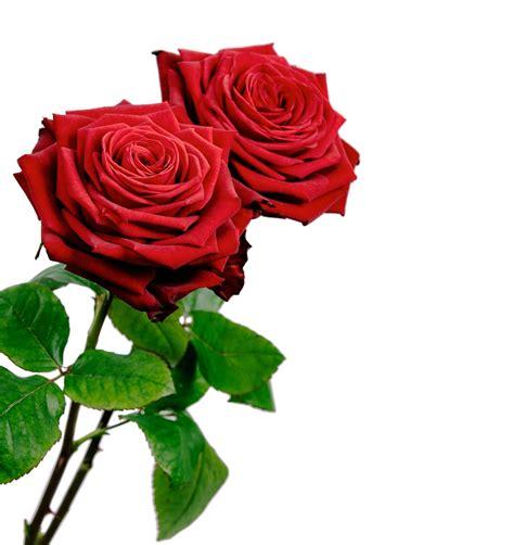 imagenes en rojas rosas rojas png imagui nature flowers pinterest
