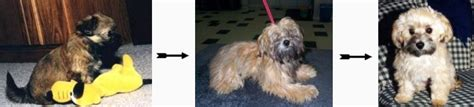 havanese color change gallery 15 before and after