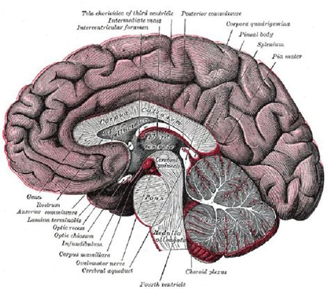 diagram of a brain brian owens image human brain diagrams