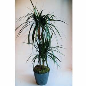 Merveilleux Plante D Interieur Facile #4: plante-verte-dracaena.jpg
