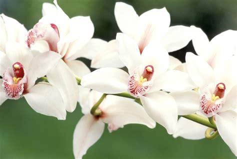 come si curano le orchidee in vaso cura e significato delle orchidee garden4us