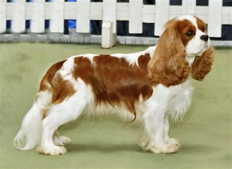 Cavalier King Charles Spaniel Breed Guide - Learn about ...