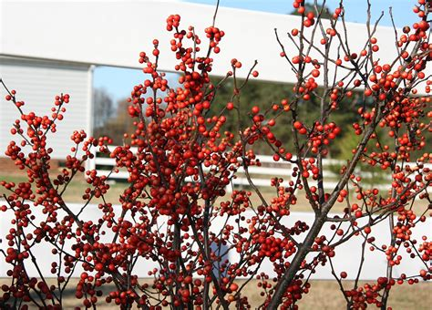 top 28 deciduous tree with berries in winter winter inspiration bright bold and beautiful