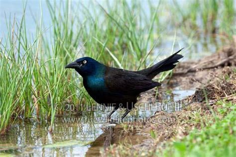 grackle boat tailed quiscalus major icteridae rwp lr3 2097