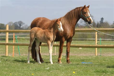 Section A Foals For Sale by Section B Mare With Foal At Foot Pewsey Wiltshire