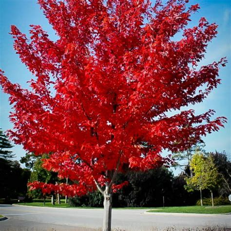 autumn maple for sale the tree center