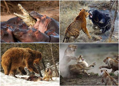 imagenes de jesucristo impactantes 161 impactantes peleas de animales spanish china org cn 中国最