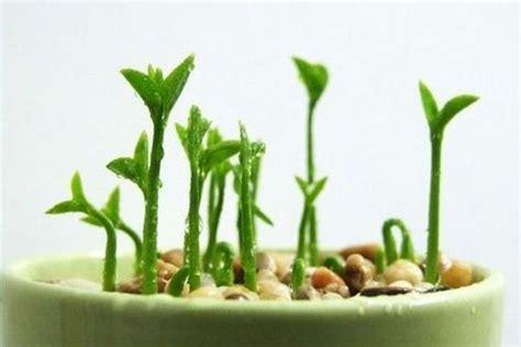Indoor Plant Seeds | brandsmart com au diy grow a lemon seed indoor plant