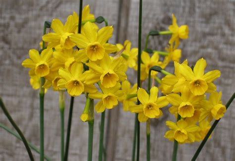 narcissus facts varieties growing and plant caring tips