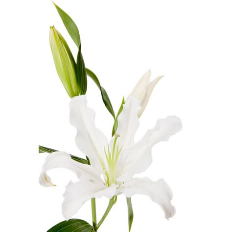 White Lilies white lilies 20 stems lilies types of