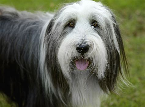 bearded collie puppy bearded collie breed information pictures characteristics facts dogtime