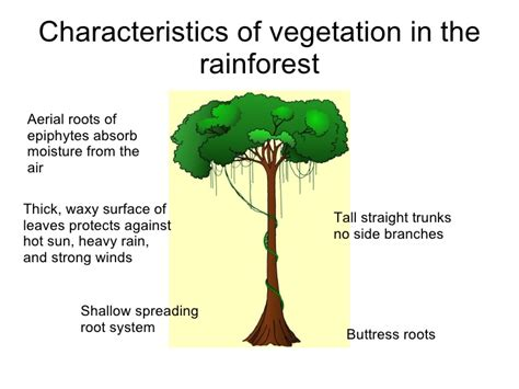 Plants In The Emergent Layer Of The Tropical Rainforest - ecosystems revision