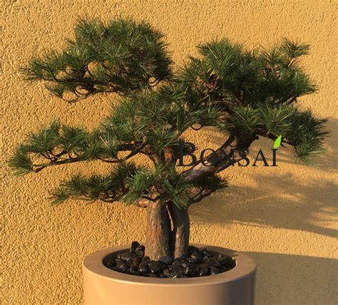 umetni bonsai bor 65cm umetni bonsaji iglavci