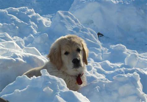 joanne dempsey golden retrievers puppies