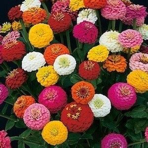 Umbi Bibit Bonggol Bunga Dahlia Mix cara menanam bunga dahlia dari biji hingga berbunga