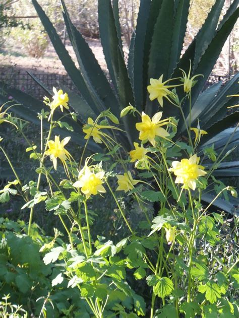 Columbine Gardens Monument Co by 17 Best Images About Wildflowers In Arizona 2014 On