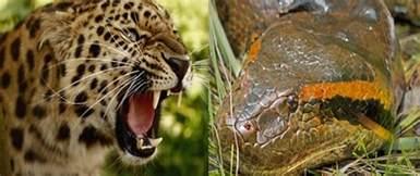 Anaconda Jaguar Jaguar Vs Anaconda Fight Who Will Win