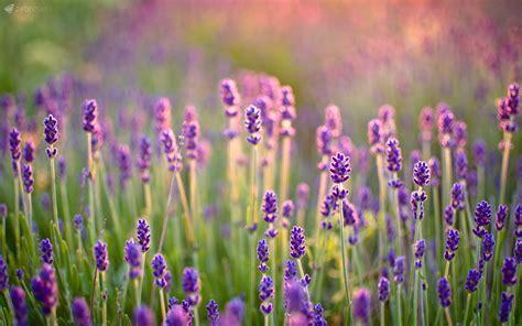 tapete lavendel sommer wallpaper f 252 r euren desktop zebresel