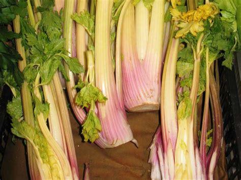 come si coltiva il sedano aree protette po torinese ortaggi e legumi sedano