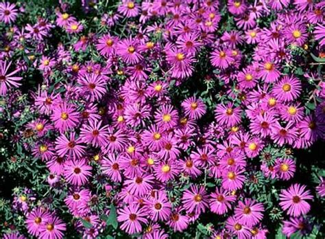fall blooming plants zone 5 1000 images about perennials zone 5 on pinterest