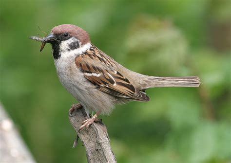sparrow bird images free download animals and birds