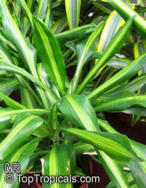 dracaena fragrans corn plant toptropicalscom