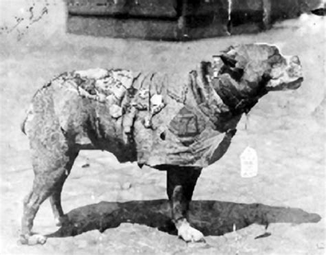 Sergeant Stubby Battles Fund Helps Supply Gear To Dogs The Blade