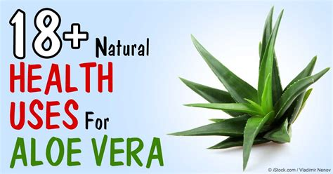 aloe vera plant facts plants migrate too on the trail of aloe vera benefits