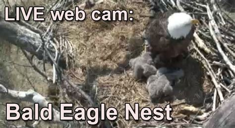 live web cam bald eagle nest wildlife web cams
