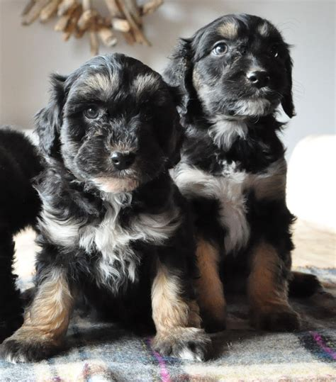 collie doodle puppies for sale uk colliedoodle puppies for sale lydney gloucestershire