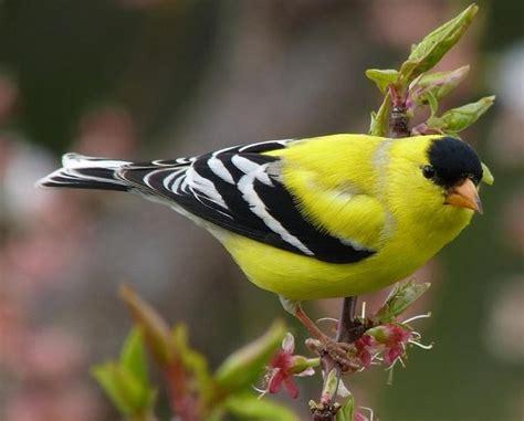 riproduzione canarini in gabbia uccelli da gabbia cardellino americano