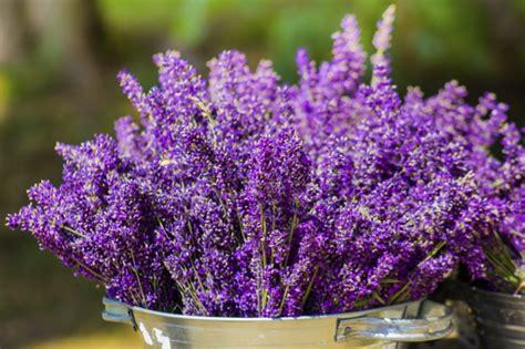 lavendel im garten überwintern lavendel vermehren und 252 berwintern so gelingt s