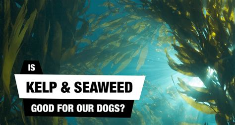 kelp for dogs seaweeds algae kelp for dogs myths reality