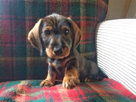 wire haired dachshund puppy standard wire haired dachshund puppies somerton somerset pets4homes