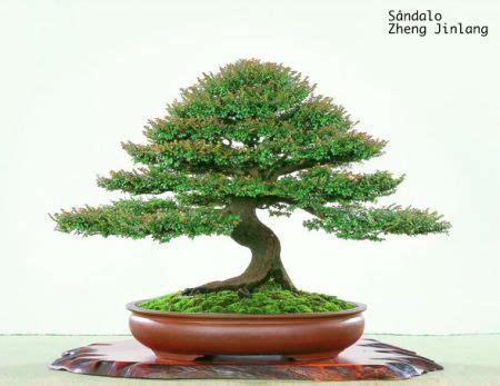 Almond 250g By Lotus 88 360 best bonsai images on bonsai trees bonsai