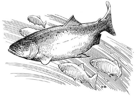 king salmon coloring page how to draw king salmon