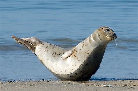 Seehund (Forum für Naturfotografen) Seehund