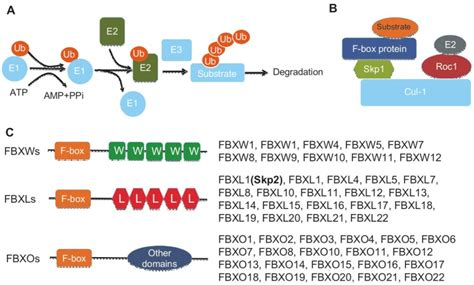 f box protein fbxw7 skp2 belongs to the f box protein family