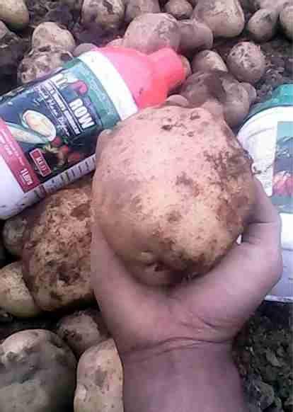 Harga Pupuk Organik Cair Di Grow aplikasi pupuk organik digrow pada tanaman kentang