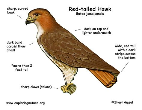 hawks colors tailed hawk coloring pictures coloring pages