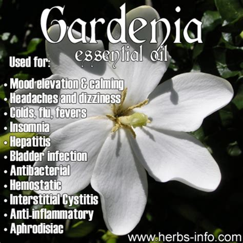 Gardenia Essential Gardenia Essential Herbs Info