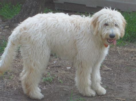doodle hair do a walk through myth busters goldendoodle edition
