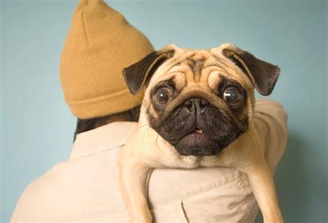 pugs problems 25 most popular breeds and their health issues mans bestfriend remulta