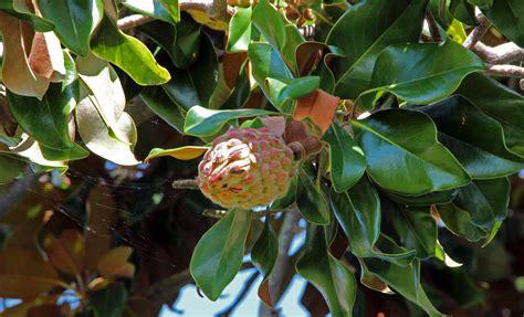nc fruit trees edenton carolina magnolia trees frogsview s