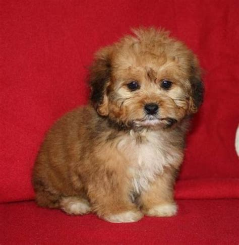 half shih tzu and half bichon frise 1000 images about bichon puppies on