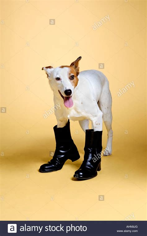 puppy boot c wearing boots stock photo royalty free image