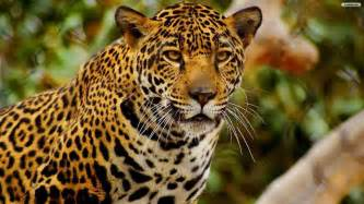 Jaguar Photography World S Most Beautiful Animals