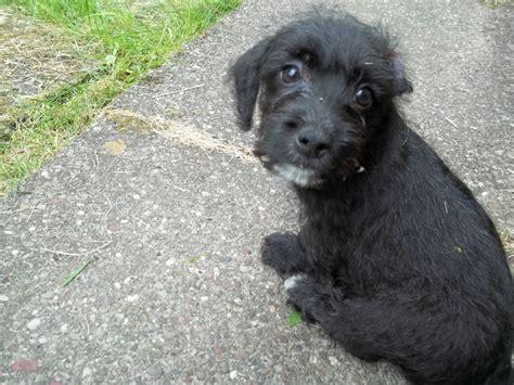 jackapoo puppies jackapoo puppies ready now leek staffordshire pets4homes