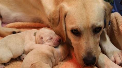 puppy birth helping your give birth safely